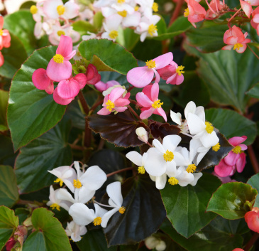 Begonia F1 'Baby Wing'