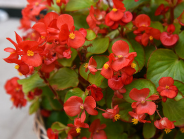 Sommarbegonia F1 'Super Olympia Red'