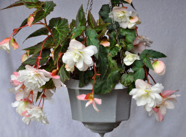 Hängbegonia F1 'Illumination White'