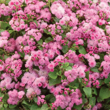 Ageratum 'Pink Ball'