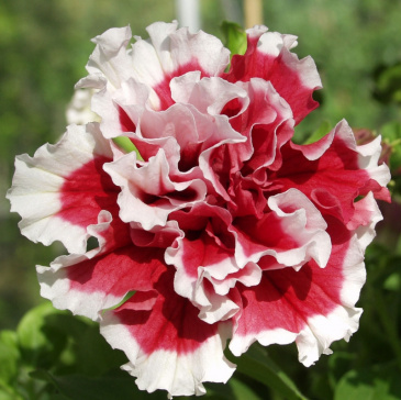 Petunia F1 'Pirouette Soft Red & White'