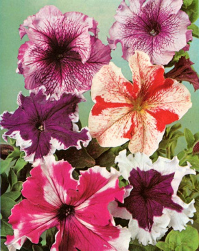 PETUNIA 'Giants of California'