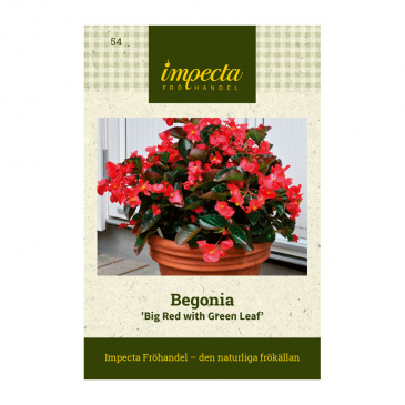 Begonia 'Big Red with Green Leaf'