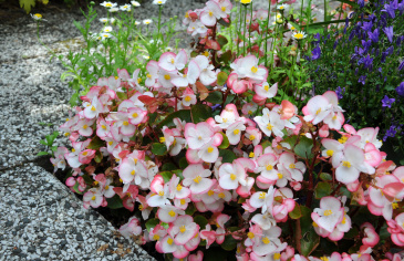 Sommarbegonia F1 'Super Olympia Bicolor'