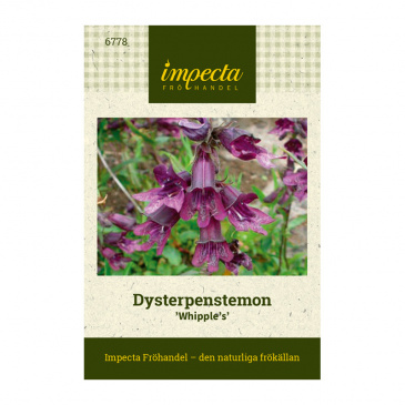 Dysterpenstemon 'Whipple's'