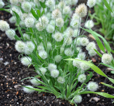 Harsvans 'Bunny Tails'