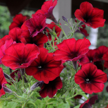 Hängpetunia F1 'Easy Wave Red Velour'