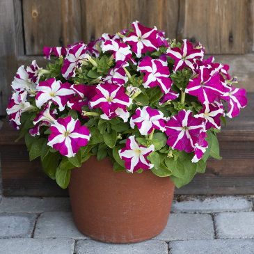 Petunia F1 'Success! HD Rose Star'