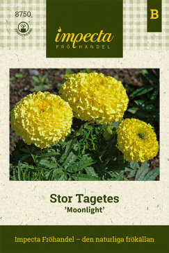 Stor Tagetes 'Moonlight'