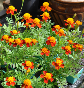 Sammetstagetes 'Orange Flame'