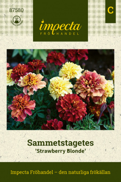 Sammetstagetes 'Strawberry Blonde'