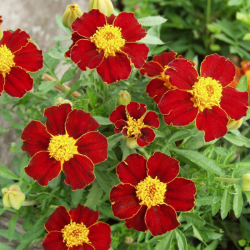 Sammetstagetes 'Favourite Red'