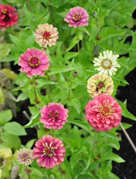 Zinnia 'Queeny Lime Red'