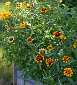 Guldzinnia 'Old Mexico Mix'