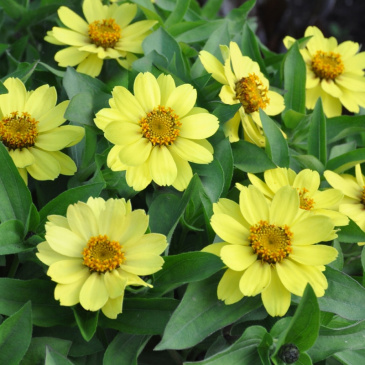 Marylandzinnia 'Zahara Yellow'