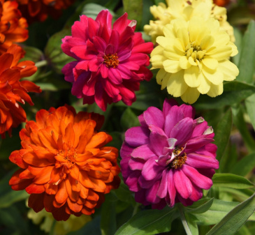 MARYLANDZINNIA 'Zahara Double Mix Brilliant'