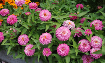 Marylandzinnia 'Zahara Double Strawberry'