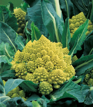 Broccolo 'Romanesco Natalino'