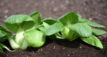 Mini Pak Choi F1 'Green Fortune'