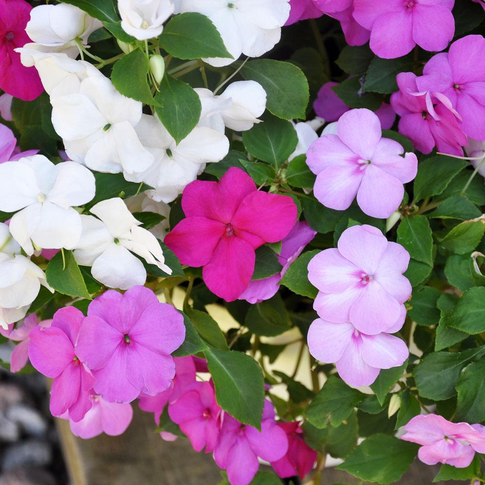 Flitiga Lisa i gruppen Ettåriga blomsterväxter hos Impecta Fröhandel (221)