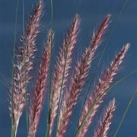 FJÄDERBORSTGRÄS i gruppen Ettåriga blomsterväxter / Gräs hos Impecta Fröhandel (2300)