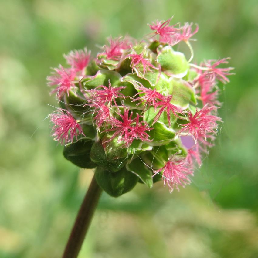 PIMPINELL i gruppen Krydd- och Medicinalväxter / Kryddväxt hos Impecta Fröhandel (3174)