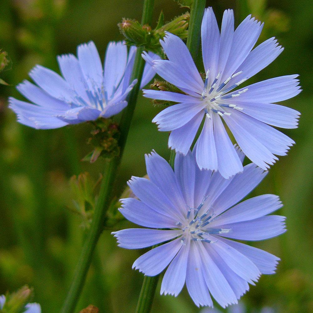 CIKORIA i gruppen Fröer / Krydd- och Medicinalväxter / Medicinalväxt hos Impecta Fröhandel (3182)