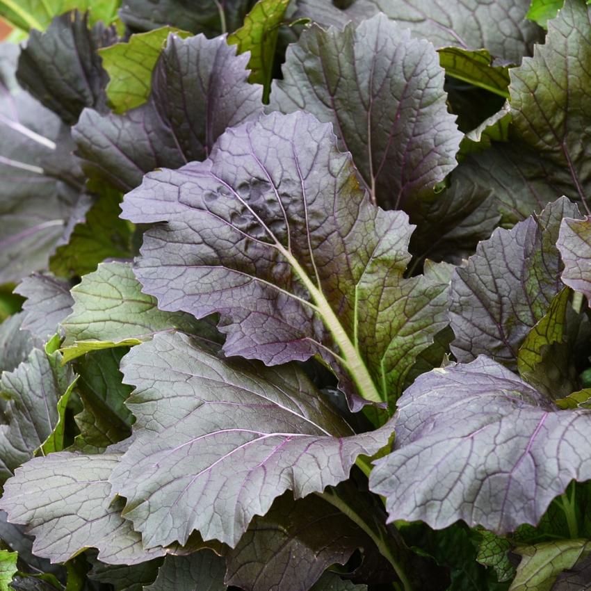 Mizunakål 'Arun' i gruppen Fröer / Grönsaksväxter / Asiatiska grönsaksväxter hos Impecta Fröhandel (31845)