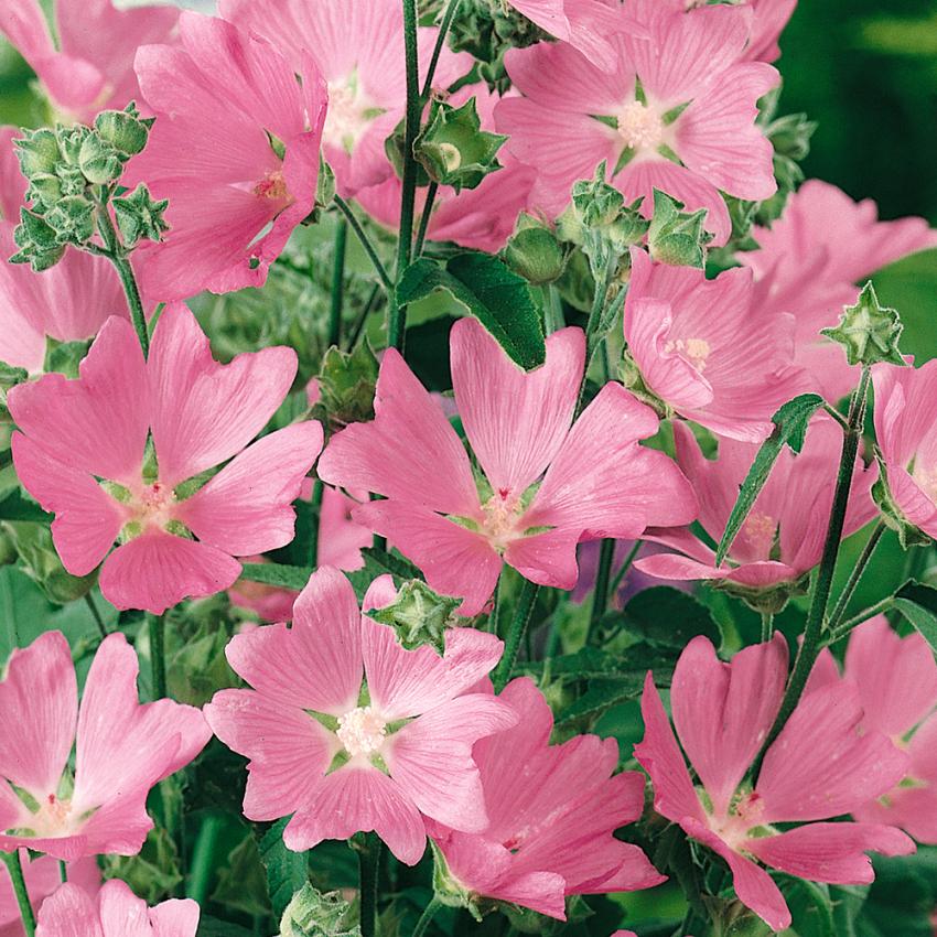 GRÅMALVA i gruppen Krydd- och Medicinalväxter / Medicinalväxt hos Impecta Fröhandel (3329)