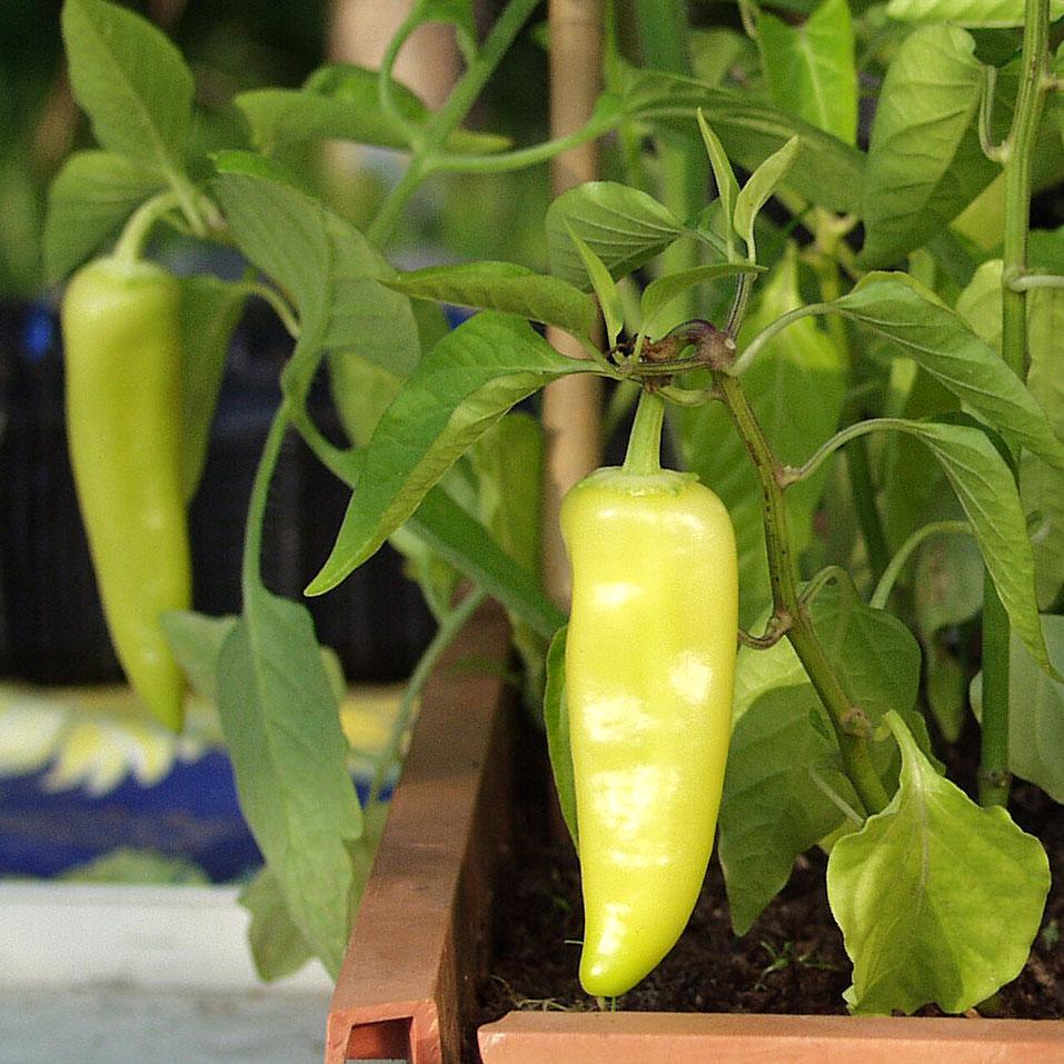 CHILIPEPPAR 'Hungarian Yellow Wax Hot' i gruppen Grönsaksväxter / Fruktgrönsaker / Chilipeppar hos Impecta Fröhandel (3401)