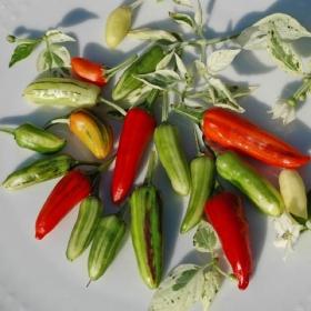 CHILIPEPPAR 'Fish Pepper' i gruppen Grönsaksväxter / Fruktgrönsaker / Chilipeppar hos Impecta Fröhandel (3408)