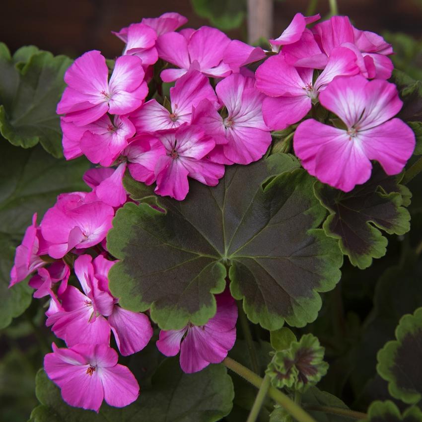 Pelargon i gruppen Ettåriga blomsterväxter hos Impecta Fröhandel (351)