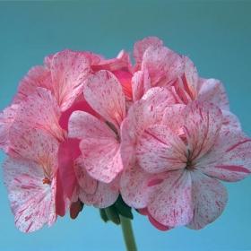 Pelargon i gruppen Ettåriga blomsterväxter hos Impecta Fröhandel (352)