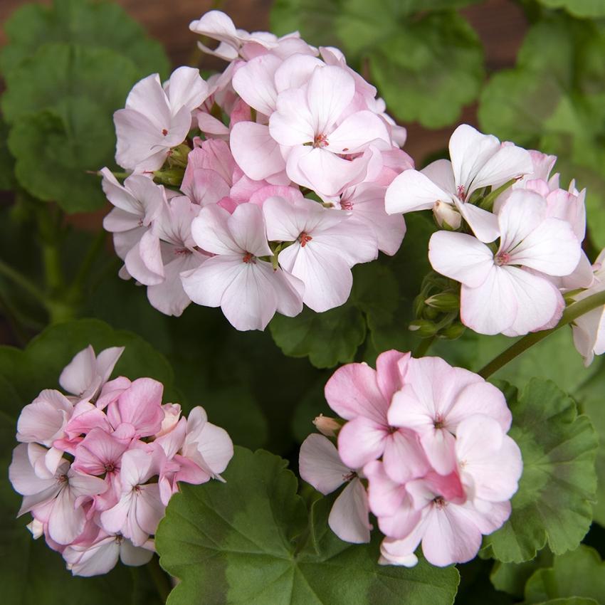Pelargon i gruppen Ettåriga blomsterväxter hos Impecta Fröhandel (357)