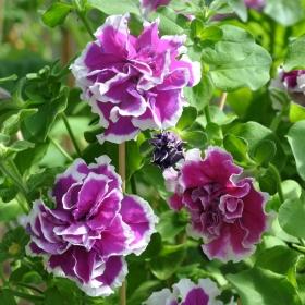 HÄNGPETUNIA F2 'Polka' i gruppen Ettåriga blomsterväxter / Ampelväxter hos Impecta Fröhandel (392)
