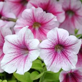 Hängpetunia i gruppen Ettåriga blomsterväxter hos Impecta Fröhandel (394)