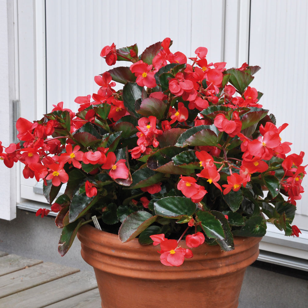 Begonia 'Big Red with Green Leaf' i gruppen Fröer / Ettåriga Blomsterväxter hos Impecta Fröhandel (54)