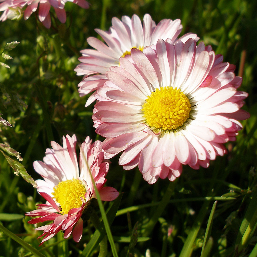 Tusenskna double daisy perenner bellis perennis double daisy tusenskna double daisy i gruppen frer perenner hos impecta frhandel 6075 izmirmasajfo
