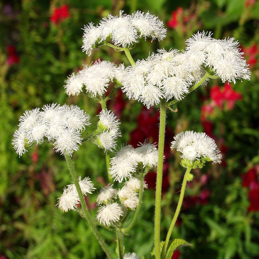 AGERATUM 'Dondo White' i gruppen Ettåriga blomsterväxter hos Impecta Fröhandel (8021)