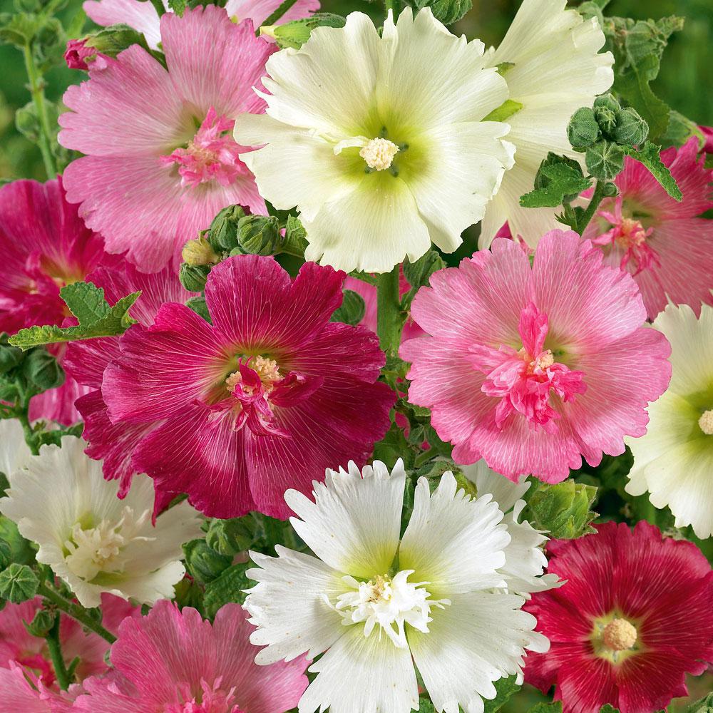 ETTÅRIG STOCKROS 'Majorette' i gruppen Ettåriga blomsterväxter hos Impecta Fröhandel (8045)