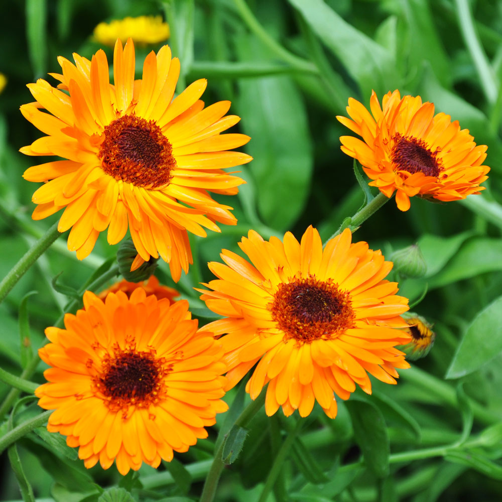 Ringblomma 'Black-Centered Orange Princess' i gruppen Calendula hos Impecta Fröhandel (8206)