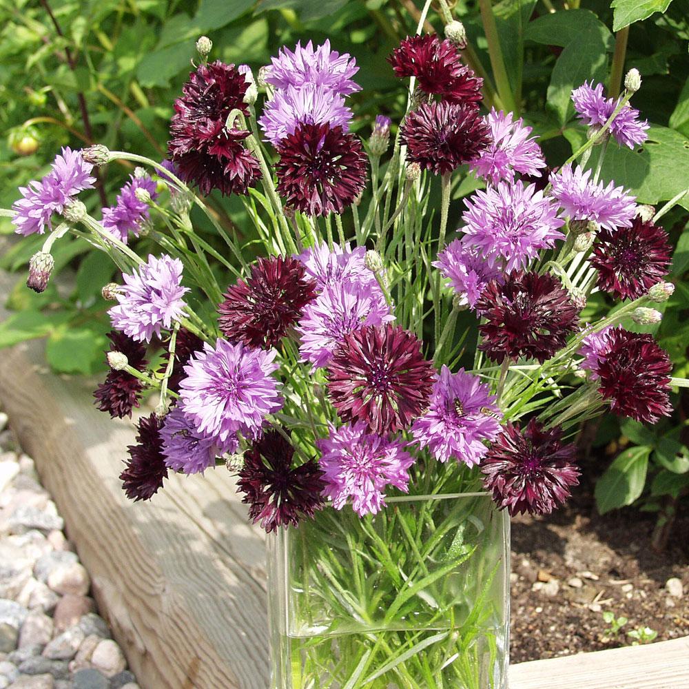 BLÅKLINT 'Black and Mauve' i gruppen Höstsådd / Ettåriga blomsterväxter hos Impecta Fröhandel (8221)