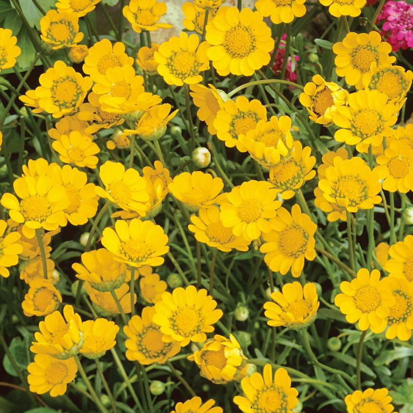 Dvärgkrage i gruppen Ettåriga blomsterväxter hos Impecta Fröhandel (8261)