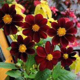 DAHLIA 'Black Beauty' i gruppen Nyheter 2013 / Ettåriga Blomsterväxter hos Impecta Fröhandel (8323)
