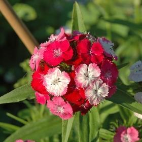 Ettårig Borstnejlika i gruppen Ettåriga blomsterväxter hos Impecta Fröhandel (8335)