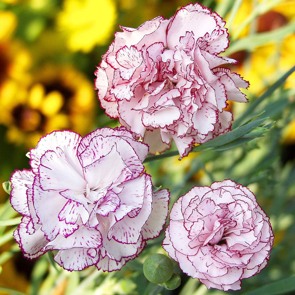 TRÄDGÅRDSNEJLIKA 'Benigna' i gruppen Ettåriga blomsterväxter / Doftande hos Impecta Fröhandel (8339)