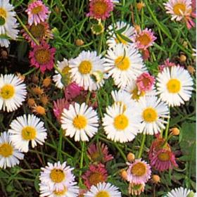 MURBINKA 'Profusion' i gruppen Ettåriga blomsterväxter / Ampelväxter hos Impecta Fröhandel (8358)