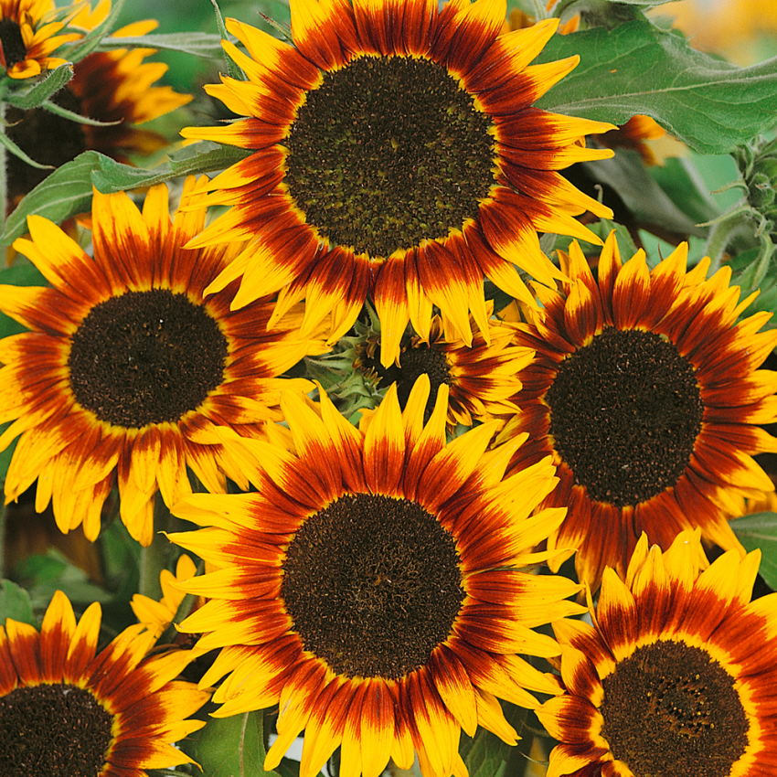 Solros 'Ring Of Fire' i gruppen Helianthus hos Impecta Fröhandel (8413)