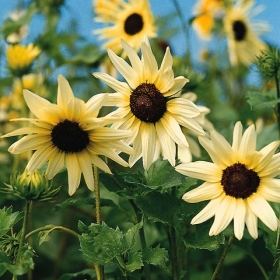 VIT MINIATYRSOLROS 'Vanilla Ice' i gruppen Ettåriga blomsterväxter hos Impecta Fröhandel (8427)