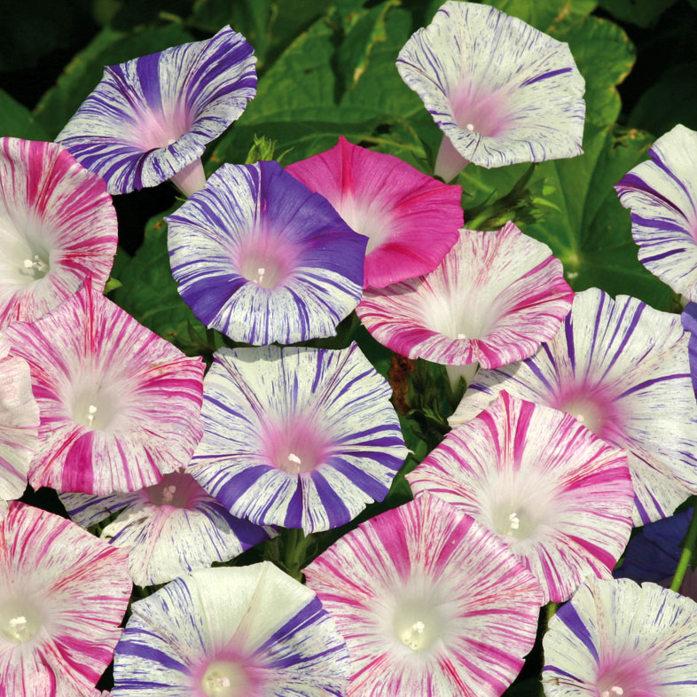 Purpurvinda i gruppen Ettåriga blomsterväxter / Slingrande/Klättrande hos Impecta Fröhandel (8456)